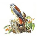 Hawk Clipart 47